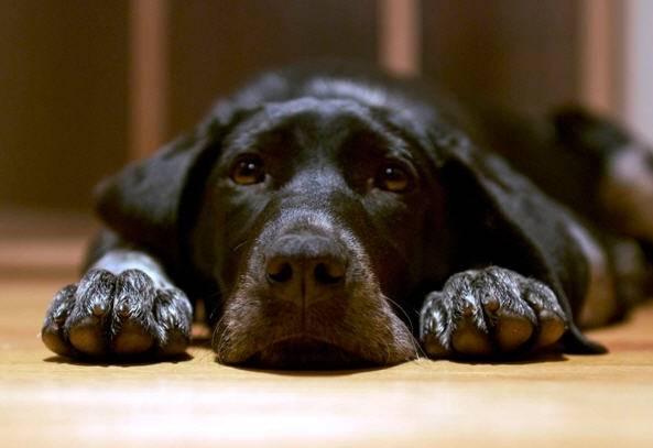 лечение чумки у собакЧумка у собак: симптомы и лечение, прививка от чумки | «Дай Лапу»