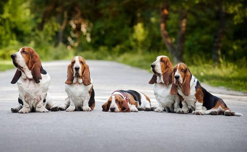 Виртуальный клуб «Охотничьи Породы Собак» / Блог / Бассет-хаунд | 495x800