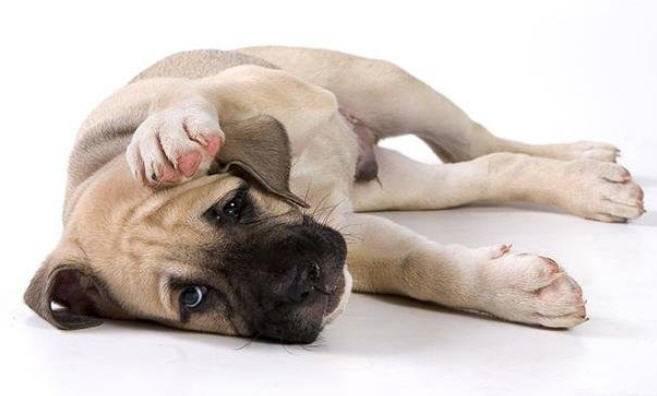 Лечение собаки от чумки в домашних условиях
