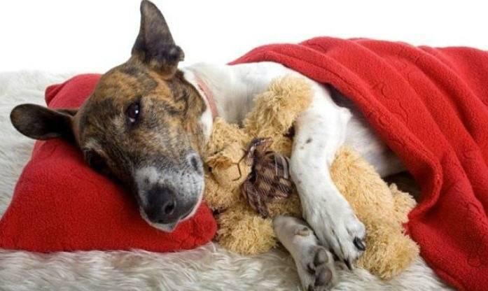Лептоспироз у собаки как поставить диагноз