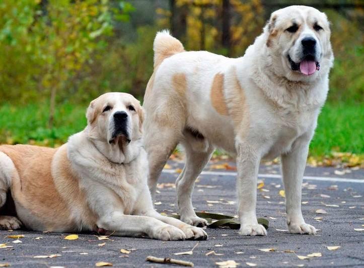 собака сторожевая фото